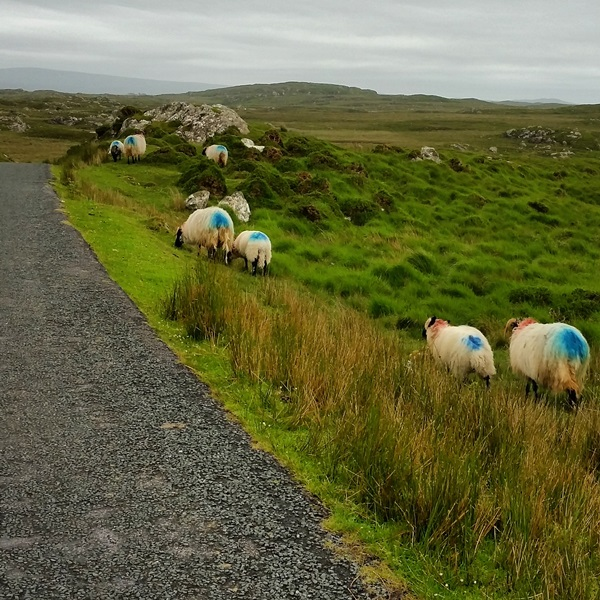 There are sheep EVERYWHERE in County Galway. Try not to run them over with your car!